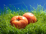 Organic Ontario field tomatoes in green grass under blue sky artistic food still life