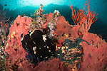 Verde Island, Oriental Mindoro, Philippines; a black colored giant frogfish in a large pink sponge on a wall with the sun overhead