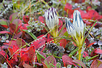 Whitish Gentian, arctic bearberry on dew covered morning tundra, Denali National Park, Alaska