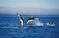 nb97. Pacific White-sided Dolphins (Lagenorhynchus obliquidens) leaping. British Columbia, Canada, Pacific Ocean..Photo Copyright © Brandon Cole.  All rights reserved worldwide.  www.brandoncole.com..This photo is NOT free. It is NOT in the public domain...Rights to reproduction of photograph granted only upon payment of invoice in full.  Any use whatsoever prior to such payment will be considered an infringement of copyright...Brandon Cole.Marine Photography.http://www.brandoncole.com.email: brandoncole@msn.com.4917 N. Boeing Rd..Spokane Valley, WA 99206   USA..tel: 509-535-3489