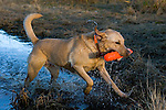 Yellow Labrador retriever (AKC) retrieving an orange dummy.  Fall. Winter, WI.
