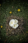 small bird nest made from grass and twigs with white roses