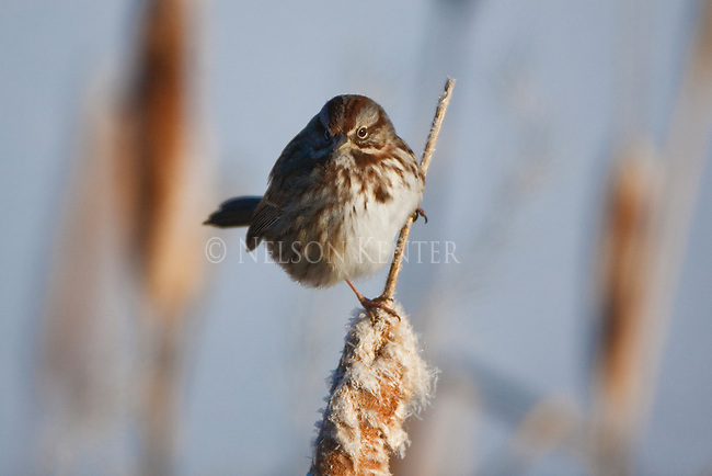 A song sparrow on a cattail in a marsh in Montana