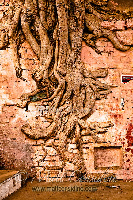 Wish fulfilling divine tree growing on wall in Varanasi.<br /> (Photo by Matt Considine - Images of Asia Collection)