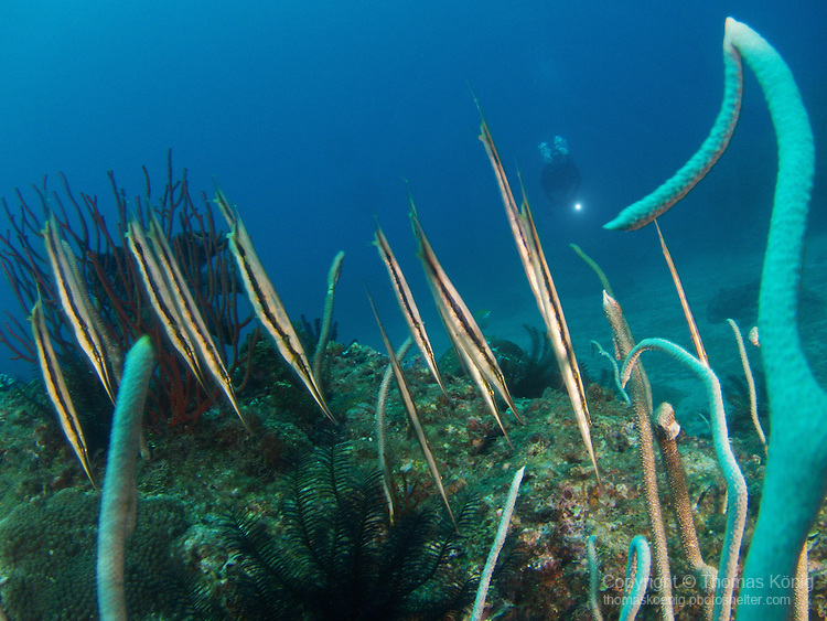 Kenting, Taiwan -- Razorfish (Aeoliscus strigatus) among whip coral branches with diver in the background.