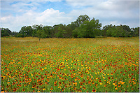 Late in the spring, the wildflowers begin to fade in the Texas Hill Country. But after a nice rain, I came across this field of Prarie Coneflower on a nice June afternoon.