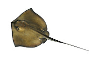Common Stingray Dasyatis pastinaca Length to 120cm<br /> Fairly distinctive ray, renowned for ability to inflict painful wound. Favours estuary mouths and shores with muddy sand. Adult has shield-shaped body outline with a long, tapering tail, armed dorsally with a single 'stinging' spine. Upper surface of body is uniformly yellowish-grey. Gives birth to live young. Generally scarce, mainly in S.