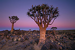 Quiver trees, members of the aloe family, at dawn, Namibia