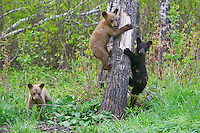 Black Bear cubs walking and clinging to a tree