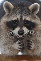 "Waschbär, etwa 5 Monate altes Jungtier, Portrait, Porträt, Männchen, Rüde, Waschbaer, Wasch-Bär, Procyon lotor, Raccoon, Raton laveur, ""Frodo"""