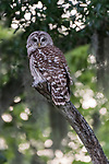 Brazoria County, Damon, Texas; an adult Barred Owl perched on a dead tree branch at twilight