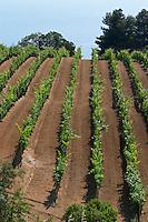 Vineyard. Mount Athos. Tsantali Vineyards & Winery, Halkidiki, Macedonia, Greece. Metoxi Chromitsa of St Panteleimon monastery.