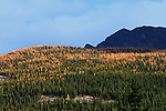 AUTUMN LARCHES IN THE VALLEY OF THE TEN PEAKS NEAR MORRAINE LAKE, BANFF NATIONAL PARK, ALBERTA, CANADA