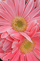 Pink daisy flower, Gerbera jamesonii 'Festival - Salmon'