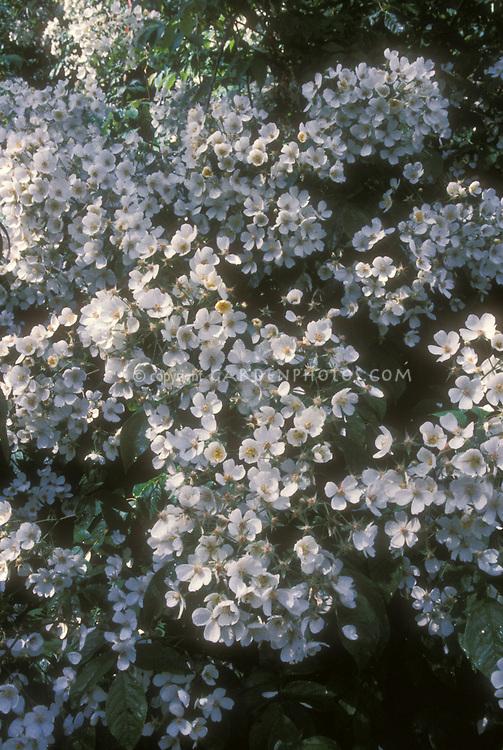 Rose Kiftsgate climbing rose for wet soils, rambling roses, white flowers