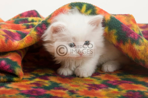SINGLE 6 WEEK OLD LONG HAIRED WHITE KITTEN SITTING UNDER BLANKET