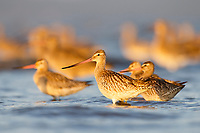 Bar-tailed Godwit (Limosa lapponica) of the subspecies menzbieri in the Yellow Sea. Geum Estuary, South Korea. October.