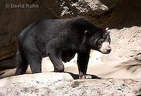 0327-1002  Sun Bear, Helarctos malayanus  © David Kuhn/Dwight Kuhn Photography.