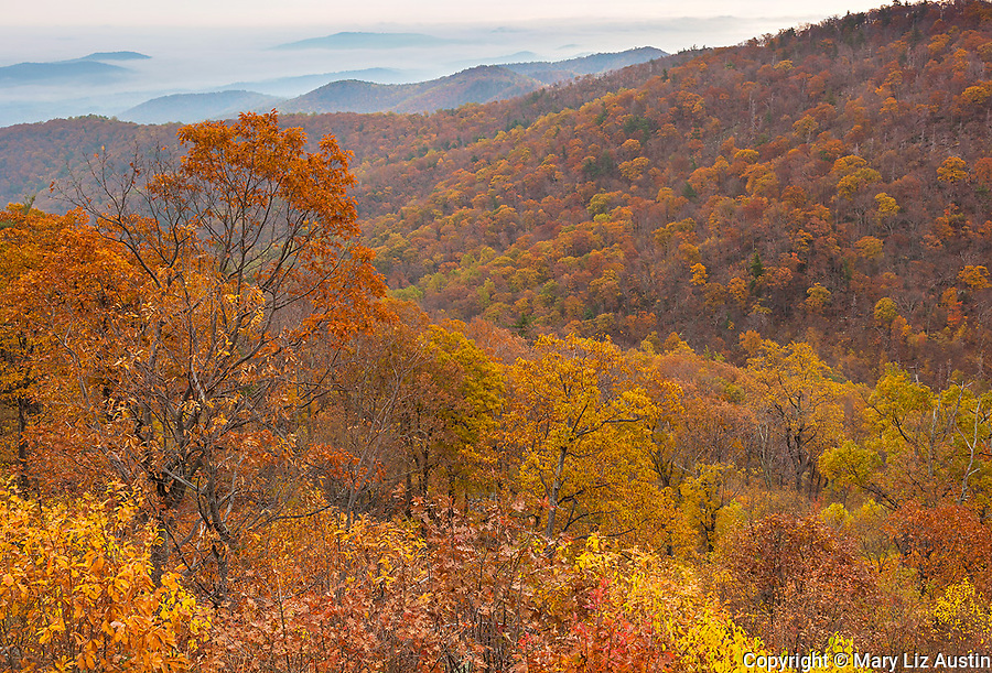 Shenandoah National Park, VA: A fall colored hillside of deciduous trees and layered Shenadoah Mountains from Skyline Drive