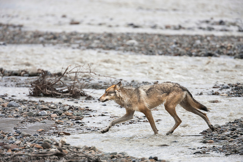 Wolf from the Grant Creek wolf pack cross the Toklat river in Denali National Park, interior, Alaska.