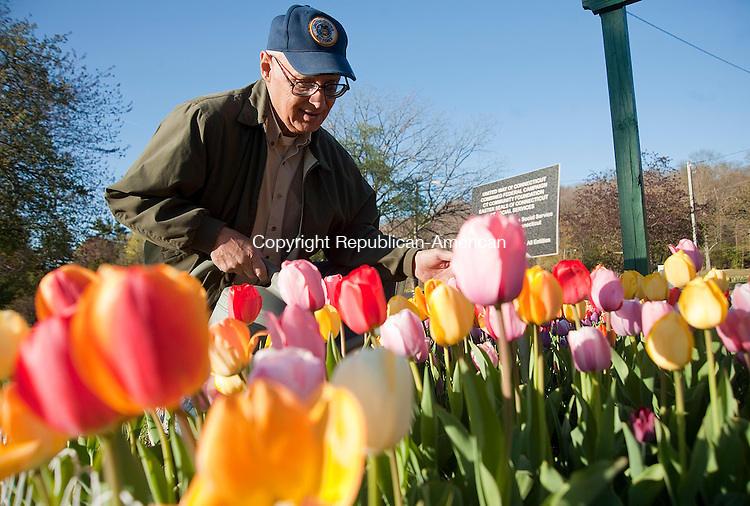 WATERBURY, CT 01 MAY 2013--050113JS02-Dominic D. Rinaldi, Director of the Waterbury Tulip and Flower Festival, tends to his patch of tulips at Fulton Park in Waterbury on Wednesday. Rinaldi is preparing for the annual Tulip Festival Sunday May 5th from 11:00 a.m. to 4:00 p.m. at Fulton Park. .Jim Shannon Republican-American