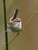 Adult male Bewick's wren singing to proclaim his territory.<br /> Woodinville, Washington<br /> 3/24/2013