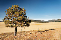 A lone tree stands at the edge of the Valle Grande caldera, Valles Caldera National Preserve, New Mexico, USA