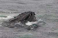 Humpback Whales Feeding in Antarctica