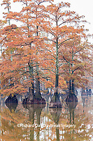 63895-15801 Cypress trees in fall color Horseshoe Lake State State Fish & Wildlife Area Alexander Co. IL