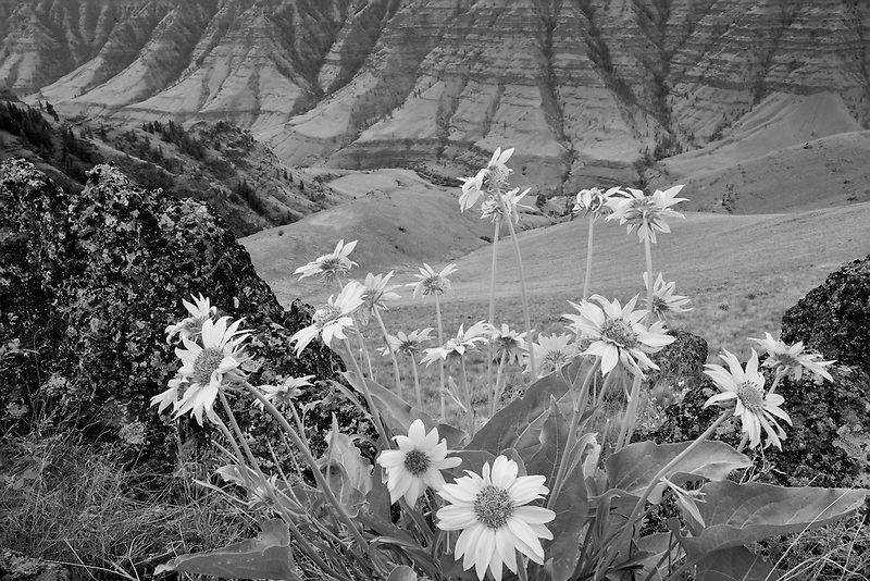 Imnaha Canyon with Balsomroot flowers. Hells Canyon National Recreation Area, Oregon