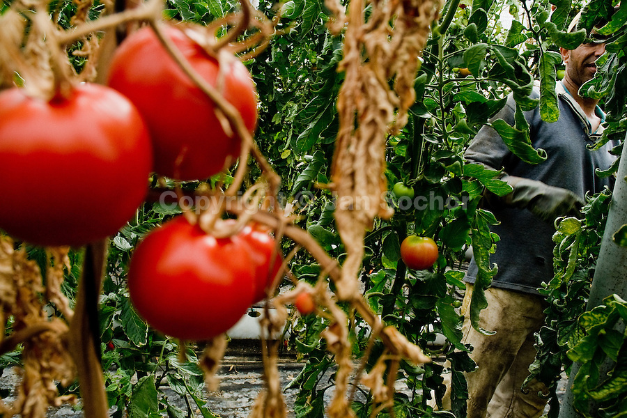 A Maghreb immigrant worker picks tomatoes in the greenhouse of El Ejido, Spain, 22 May 2007. El Ejido, a dry region on the coast of Andalusia, has changed during the last decades into the centre of vegetable production not only for the Spanish market. A half of Europe is supplied by tomatoes, peppers and melons from El Ejido. This economic miracle is from a major part based on a cheap labor force of illegal immigrants from Maghreb and Subsaharian Africa. Tens of thousands of workers keep the plastic sea of greenhouses running for the minimum wage of 30 Euros a day.