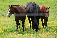 Stock photo of three horses graze on a field filled with wildflowers in cades cove, the great smoky mountain national park, America.