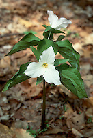Trillium grandiflorum (Snow Trillium, Large-Flowered Trillium)