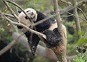 ADOLESCENT PANDA ASLEEP IN TREE AT THE CHENGDU PANDA BREEDING AND RESEARCH CENTRE, SICHUAN, CHINA. 14/3/13. PICTURE BY CLARE KENDALL 07971 477316