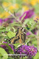 03017-01214 Giant Swallowtail butterfly (Papilio cresphontes) on Butterfly Bush (Buddlei davidii),  Marion Co., IL