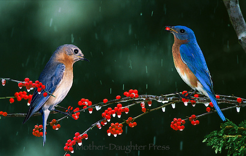 Two bluebirds, male and female, perched on holly branch in snowfall eating berries, Missouri, USA
