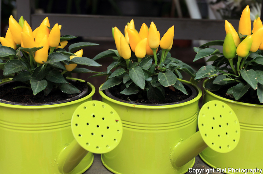 Bright lime green watering cans hold miniature peppers in a French street market.
