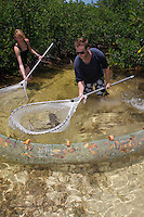 qa70722-D. marine biologist Tristan Guttridge (model released, at right) from Bimini Biological Field Station, and assistant, working in the mangroves net young Lemon Shark (Negaprion brevirostris) to be measured. Bahamas, Atlantic Ocean..Photo Copyright © Brandon Cole. All rights reserved worldwide.  www.brandoncole.com..This photo is NOT free. It is NOT in the public domain. This photo is a Copyrighted Work, registered with the US Copyright Office. .Rights to reproduction of photograph granted only upon payment in full of agreed upon licensing fee. Any use of this photo prior to such payment is an infringement of copyright and punishable by fines up to  $150,000 USD...Brandon Cole.MARINE PHOTOGRAPHY.http://www.brandoncole.com.email: brandoncole@msn.com.4917 N. Boeing Rd..Spokane Valley, WA  99206  USA.tel: 509-535-3489