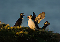 Gregarious non-breeding Atlantic Puffins (Fratercula arctica) 'hang out' during nesting season on grassy slopes and rock ledges near the many scattered burrows of the colony's breeding pairs, here along the coast of eastern Newfoundland, summer, Newfoundland and Labrador, Canada.  Puffins communicate much more with gestures than vocalizations.  So one could speculate here that the puffin flapping and displaying its profile may be testing its status, showing off... or simply stretching its wings.