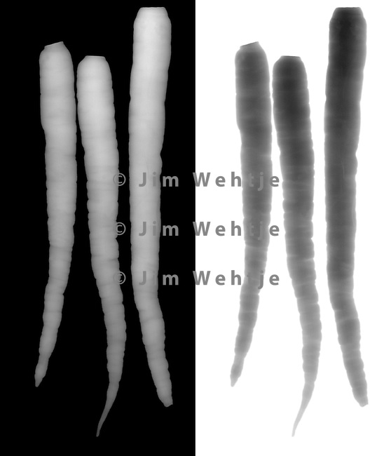 X-ray image of three carrots (grayscale) by Jim Wehtje, specialist in x-ray art and design images.