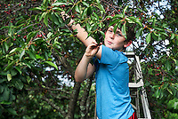 Boy picking cherries from a cherry tree.