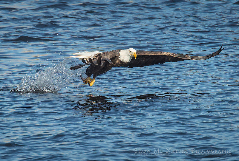Adult Bald Eagle catching a fish