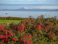 County Galway, Ireland: Morning sun on a fuschia hedge at Rinvyle Point in the Connemara Region with Inishbofin Island in the distance