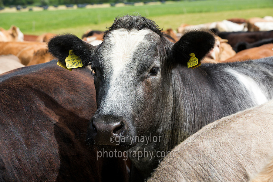 Young beef cattle on grass - Lincolnshire, May