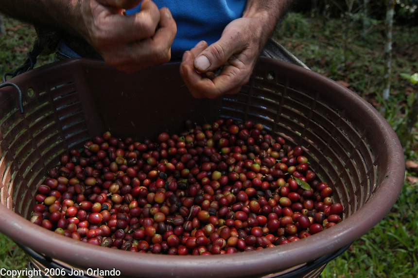 Sustainable cofee farming in Costa Rica.