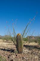 Arizona barrel cactus, Ferocactus wislizenii, with fruits. Near Pena Blanca Lake, Coronado National Forest, Arizona