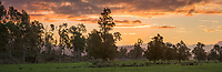 Sunset with old totara tree on farmland in Whataroa, South Westland, West Coast, New Zealand, NZ
