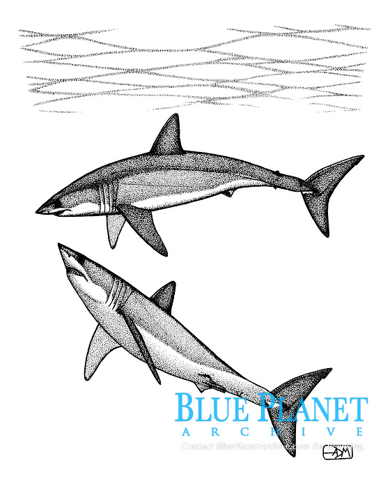 Shortfin mako sharks, Isurus oxyrinchus, male below and female above, pen and ink illustration.