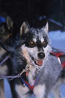 J Garnie's Dogs @ 34 Below Anvik 99 Iditarod AK