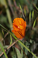 A California Poppy, only slightly unfurled, growing between Geyserville and Calistoga on Highway 128 in Napa County in Northern California